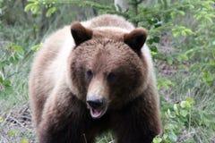 Grizzley-Bär, der für Lebensmittel herumsucht Lizenzfreie Stockfotos
