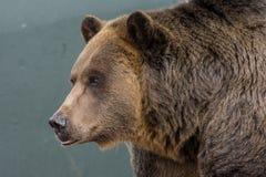 Grizzley-Bär, der für Lebensmittel herumsucht Lizenzfreies Stockbild