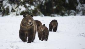 Grizzley-Bär, der für Lebensmittel herumsucht Stockfotos