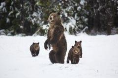 Grizzley-Bär, der für Lebensmittel herumsucht Lizenzfreies Stockfoto