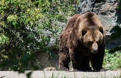 Grizzley-Bär, der für Lebensmittel herumsucht Stockbild