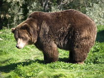 Grizzley bear Stock Photography