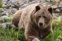 Grizzley björn som söker efter föda för mat Royaltyfria Bilder