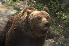 Grizzley björn som söker efter föda för mat Arkivfoto