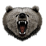 Grizzley björn som söker efter föda för mat Royaltyfri Foto