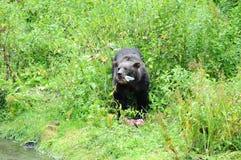 Grizzley björn som söker efter föda för mat Royaltyfri Bild