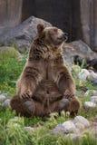 Grizzley björn som söker efter föda för mat Fotografering för Bildbyråer