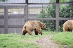 Grizzley-Bär, der für Lebensmittel herumsucht Lizenzfreie Stockfotografie