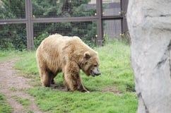 Grizzley-Bär, der für Lebensmittel herumsucht Stockfoto