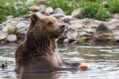 Grizzley draagt voederend voor voedsel royalty-vrije stock fotografie