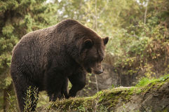 Grizzley draagt voederend voor voedsel Stock Afbeeldingen