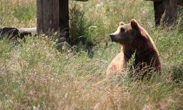 Grizzley draagt voederend voor voedsel Stock Foto's