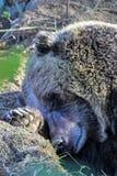 Grizzley draagt voederend voor voedsel Stock Foto