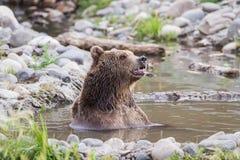 Grizzley niedźwiedź foraging dla jedzenia Obrazy Royalty Free