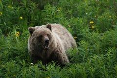 Grizzley niedźwiedź foraging dla jedzenia Obraz Stock