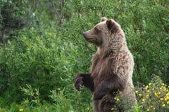 Grizzley niedźwiedź foraging dla jedzenia Zdjęcia Royalty Free