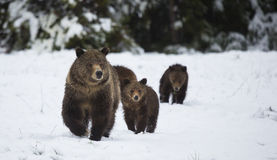 Grizzley niedźwiedź foraging dla jedzenia Zdjęcia Stock