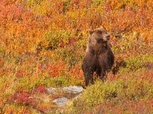 Grizzley niedźwiedź foraging dla jedzenia Fotografia Stock