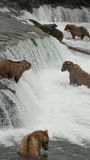 Grizzlies catching salmon - Brook Falls - Katmai National Park, Alaska royalty free stock photos