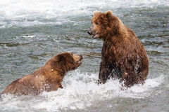 Grizzlies fighting Royalty Free Stock Images