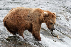 Grizzlies fighting Stock Image