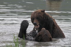 Grizzlies fighting in the water. Two grizzlies fighting in the water / alaska Stock Photo