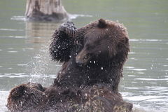 Grizzlies fighting in the water. Two grizzlies fighting in the water / alaska Stock Images