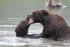 Grizzlies fighting in the water. Two grizzlies fighting in the water / alaska Royalty Free Stock Image
