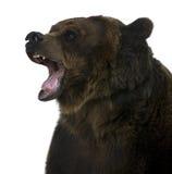 Grizzly, 10 jaar oud, het grommen Stock Afbeeldingen