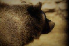 grizzly arkivbild