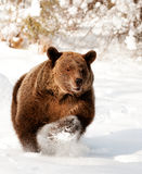 Grizzly Royalty Free Stock Photo