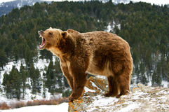 Grizzly Royalty Free Stock Images