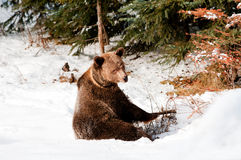 Grizzly Royalty Free Stock Photography