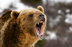 Grizzly Royalty Free Stock Photos