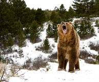 Grizzly Stock Photo