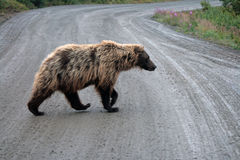 Grizzly. A shot of grizzly crossing road in Denali National Park - Alaska - USA Royalty Free Stock Image