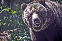 grizzly Stockbilder