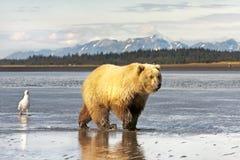 grizzly Fotografía de archivo libre de regalías
