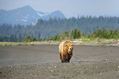 grizzly Foto de archivo libre de regalías