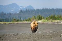 grizzly Foto de Stock Royalty Free
