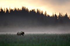 grizzly Fotos de archivo libres de regalías