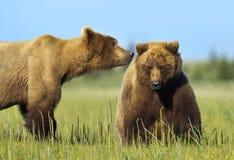 grizzly Imágenes de archivo libres de regalías