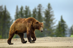 grizzly Imagem de Stock Royalty Free