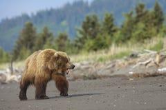 grizzly Fotos de Stock Royalty Free