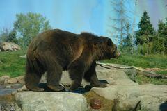 Grizzly. A picture of a grizzly bear walking in forest stock photography