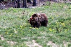 grizzly Fotografía de archivo