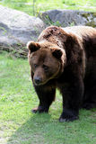 Grizzly Stock Images
