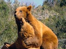 grizzly Lizenzfreies Stockbild