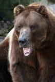 grizzly agresywne Zdjęcie Stock