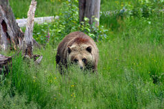 Grizzly Approaches. Brown Bear/Grizzly in a meadow, advancing on the photographer's position Royalty Free Stock Photography